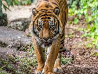 US: Tiger at New York zoo tests positive for COVID-19